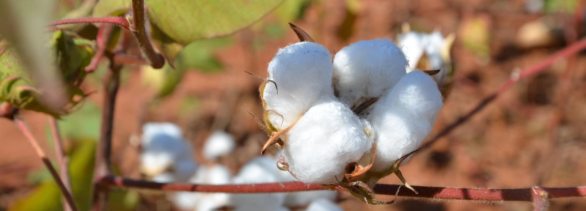 Cotton in Mozambique © Better Cotton Initiative