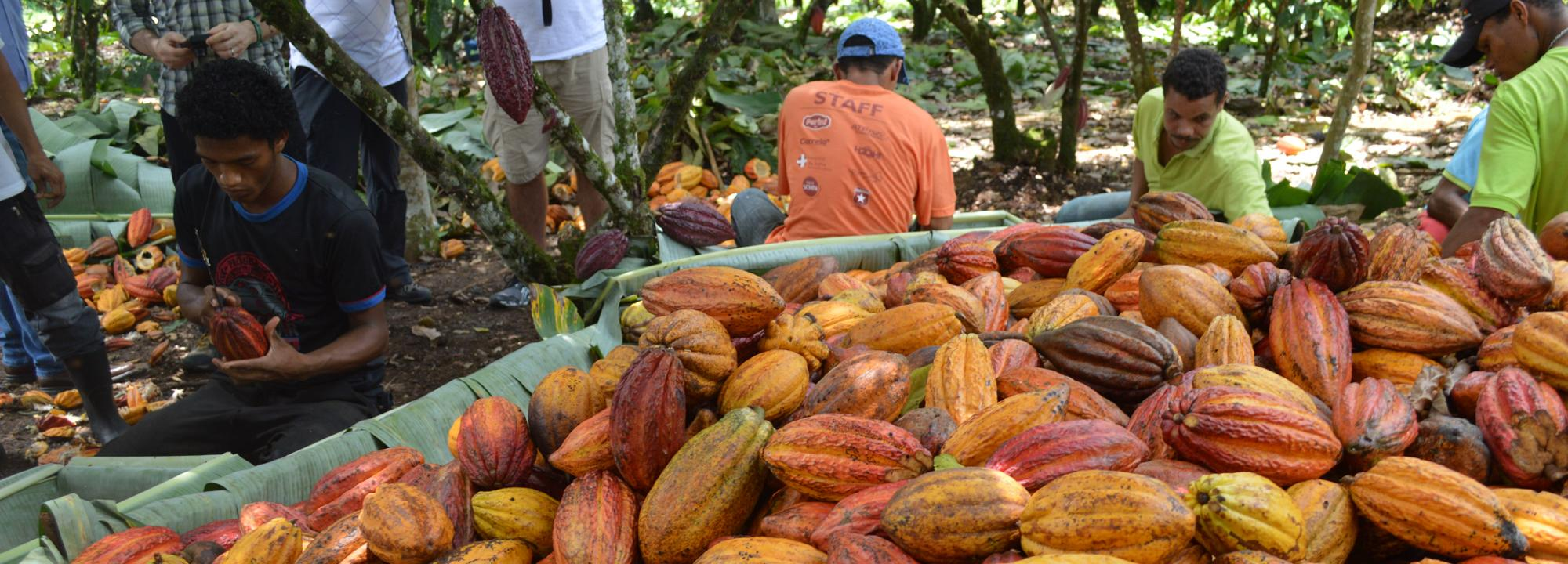 Cocoa pods, Brazil © Rainforest Alliance