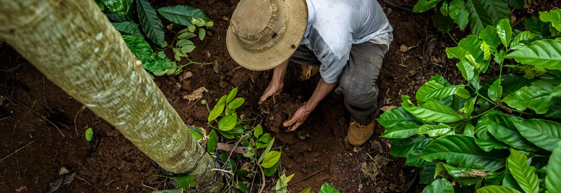 Farmer with hands in soil © Carlos Rubio and Global Coffee Platform