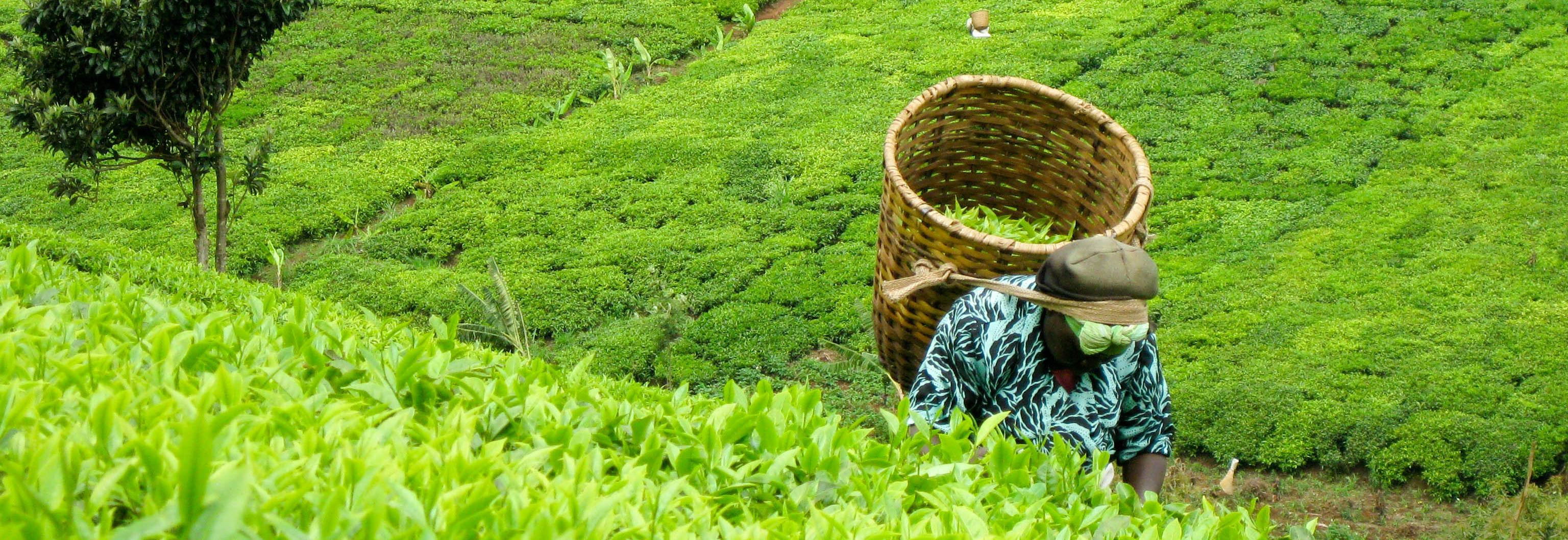 Tea harvesting in Kenya © UTZ
