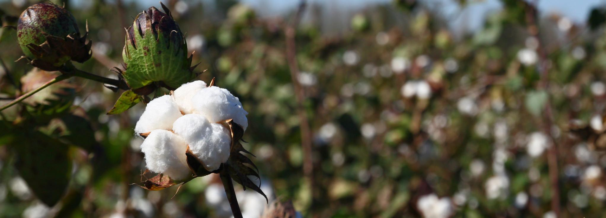 Cotton field on a sunny day © Better Cotton Initiative