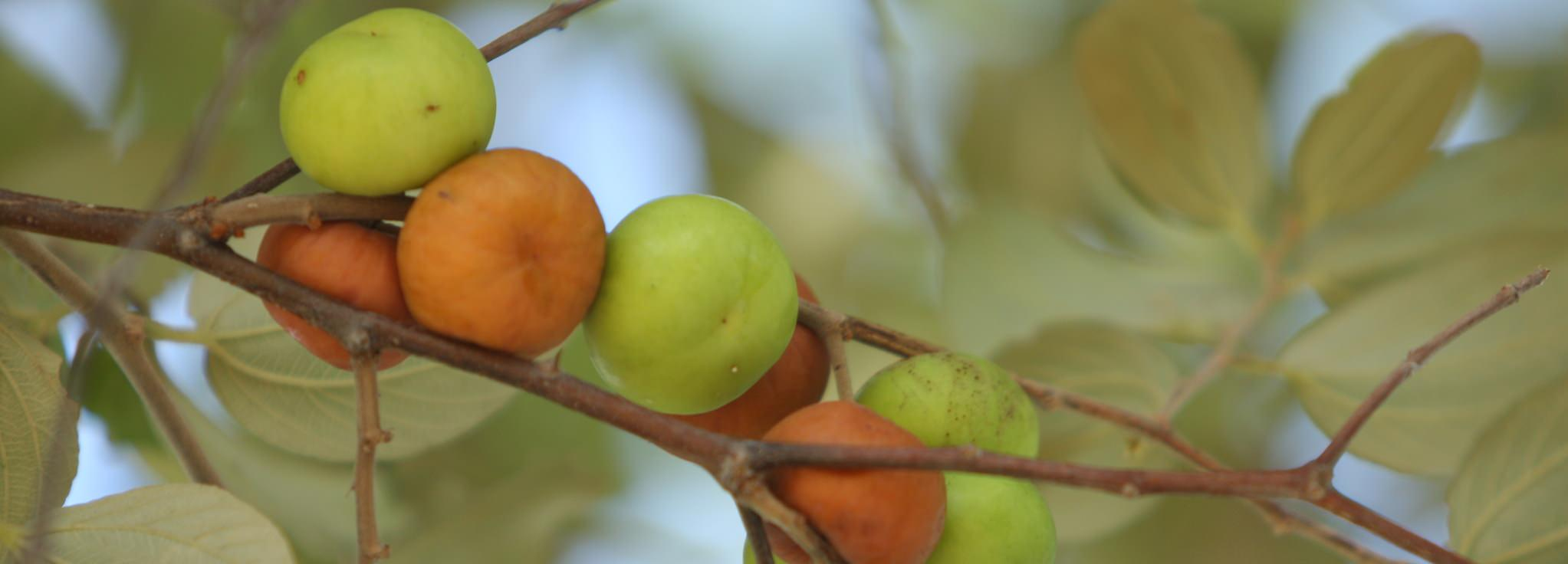 Fruit of Ziziphus mauritiana, Zimbabwe © David Brazier for UEBT