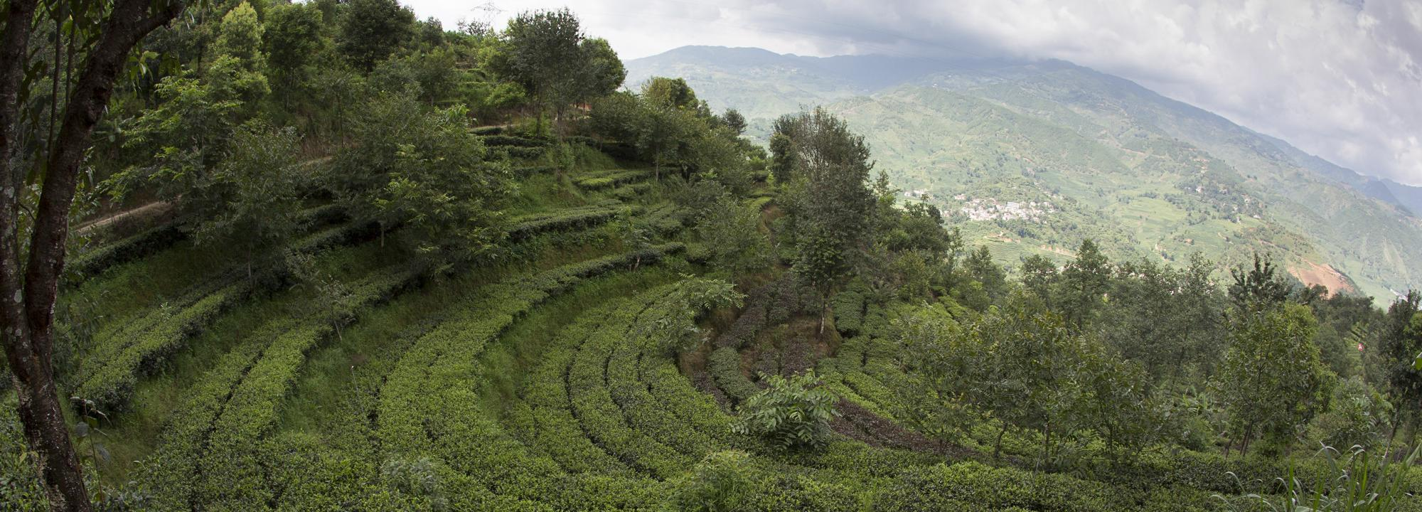 Tea Terraces in China, courtesy Rainforest Alliance