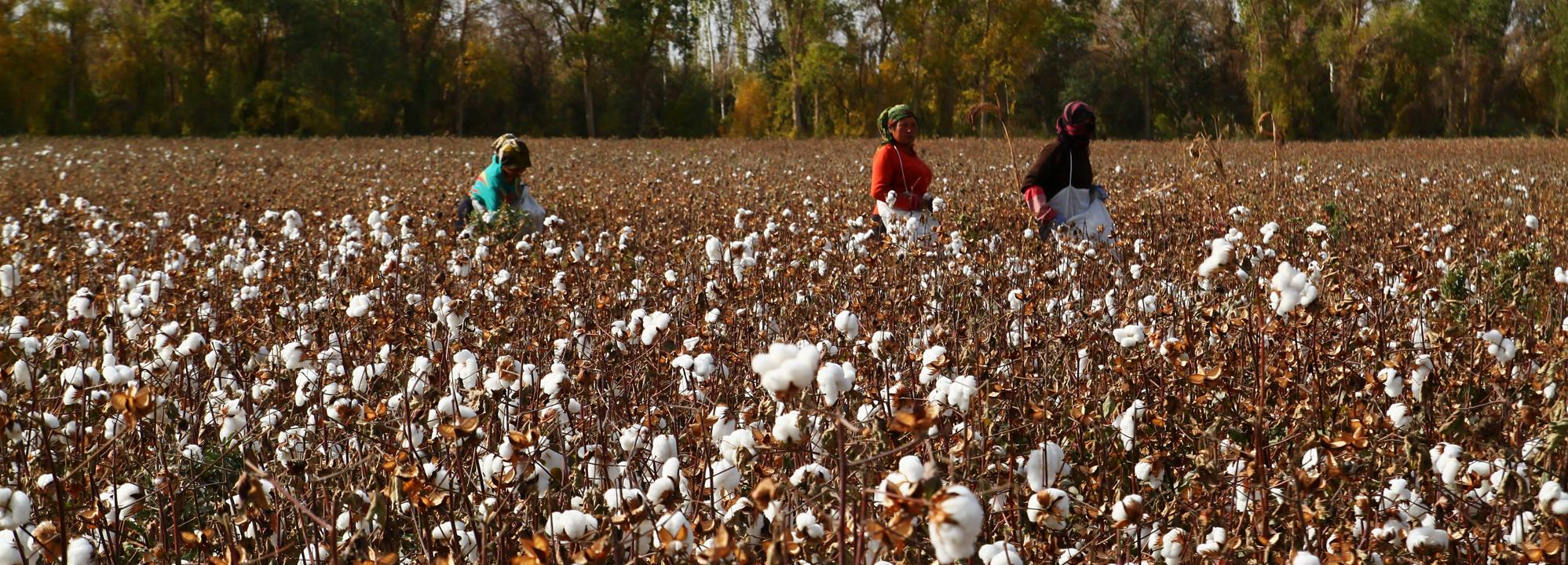 Harvesting cotton credit Better Cotton Initiative