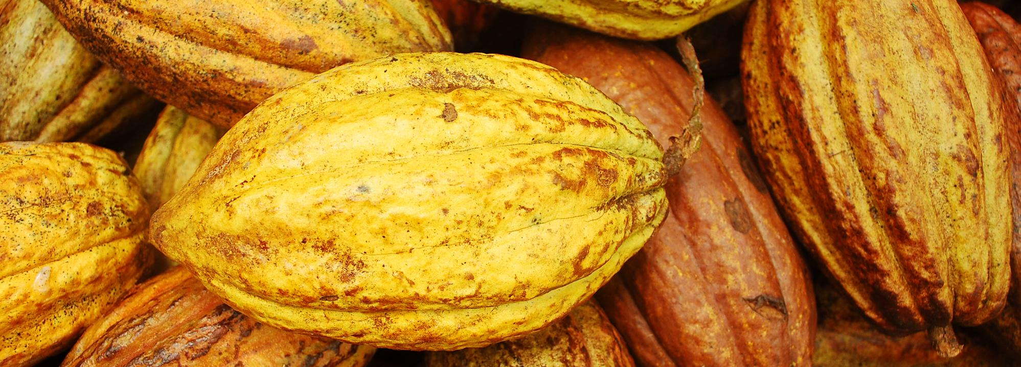 Cocoa pods, Honduras © Rainforest Alliance