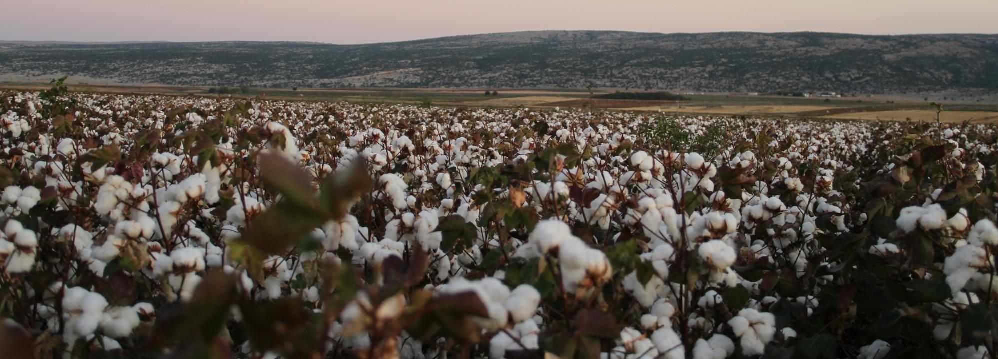 Cotton field © Better Cotton Initiative