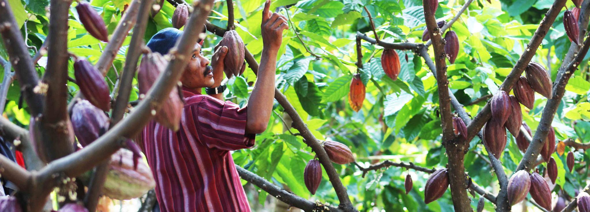 Cocoa, Indonesia © Sustainable Agriculture Network