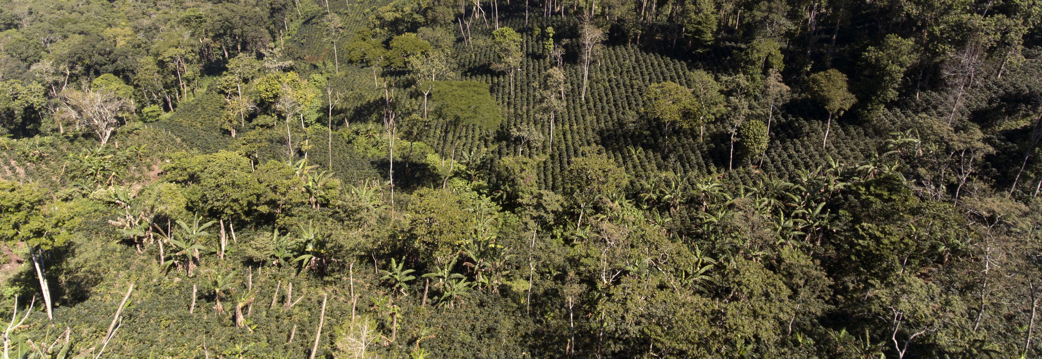 Coffee plantation seen from a drone in Nicaracgua © Giuseppe Cipriani for UTZ