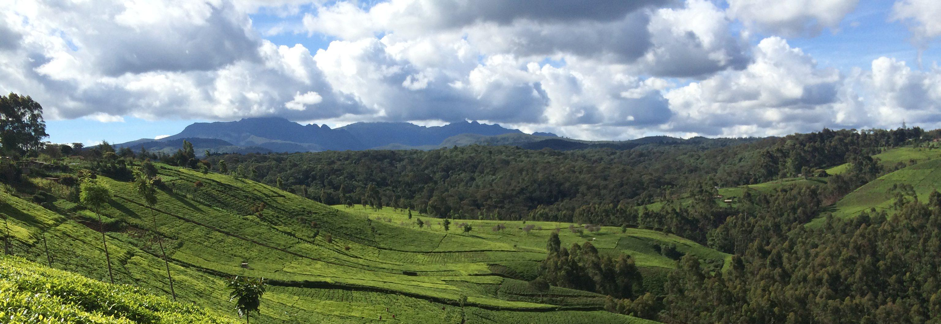 tea_fields_Kenya © Rainforest Alliance