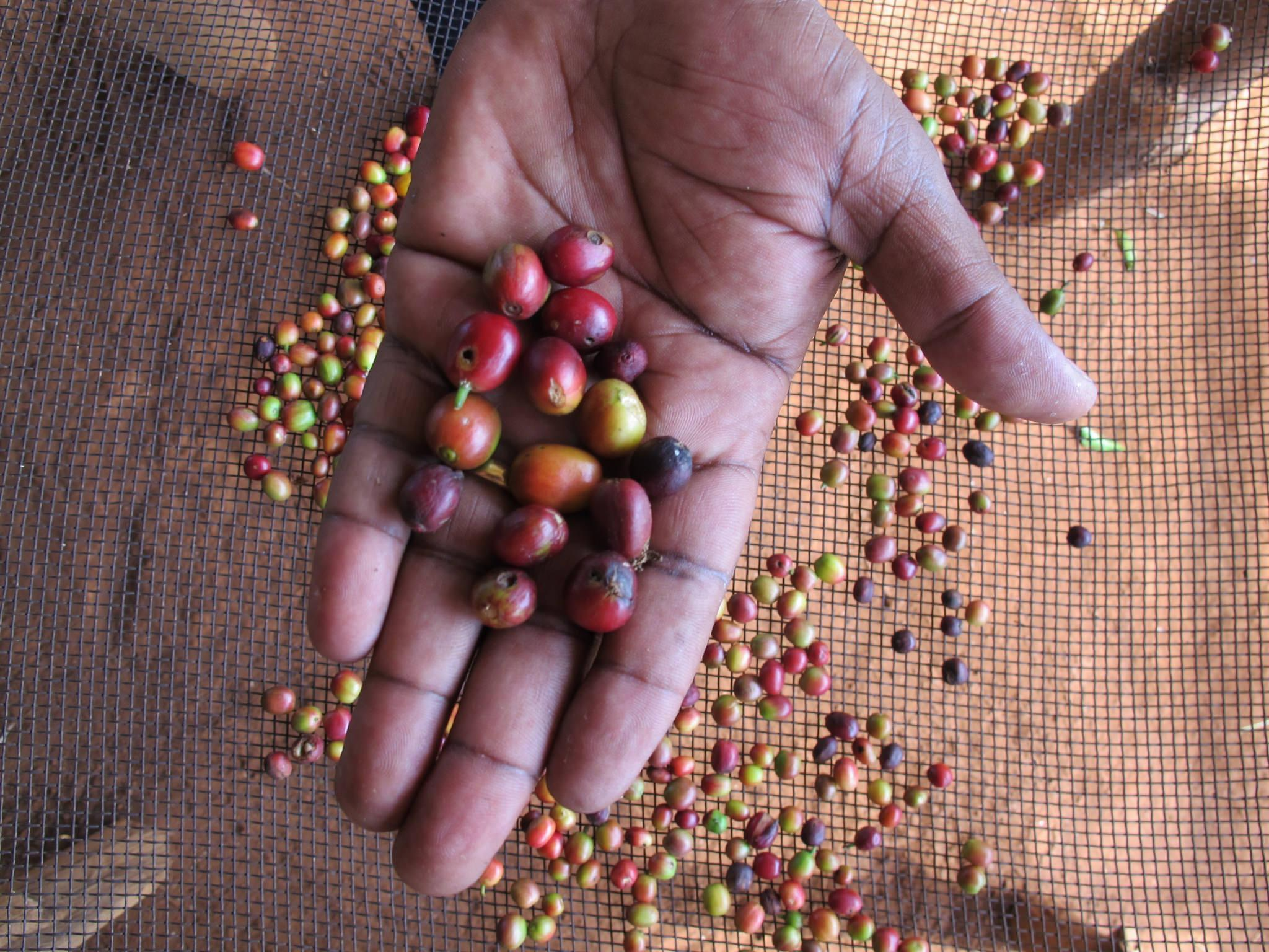 Rwanda coffee washing © Rainforest Alliance