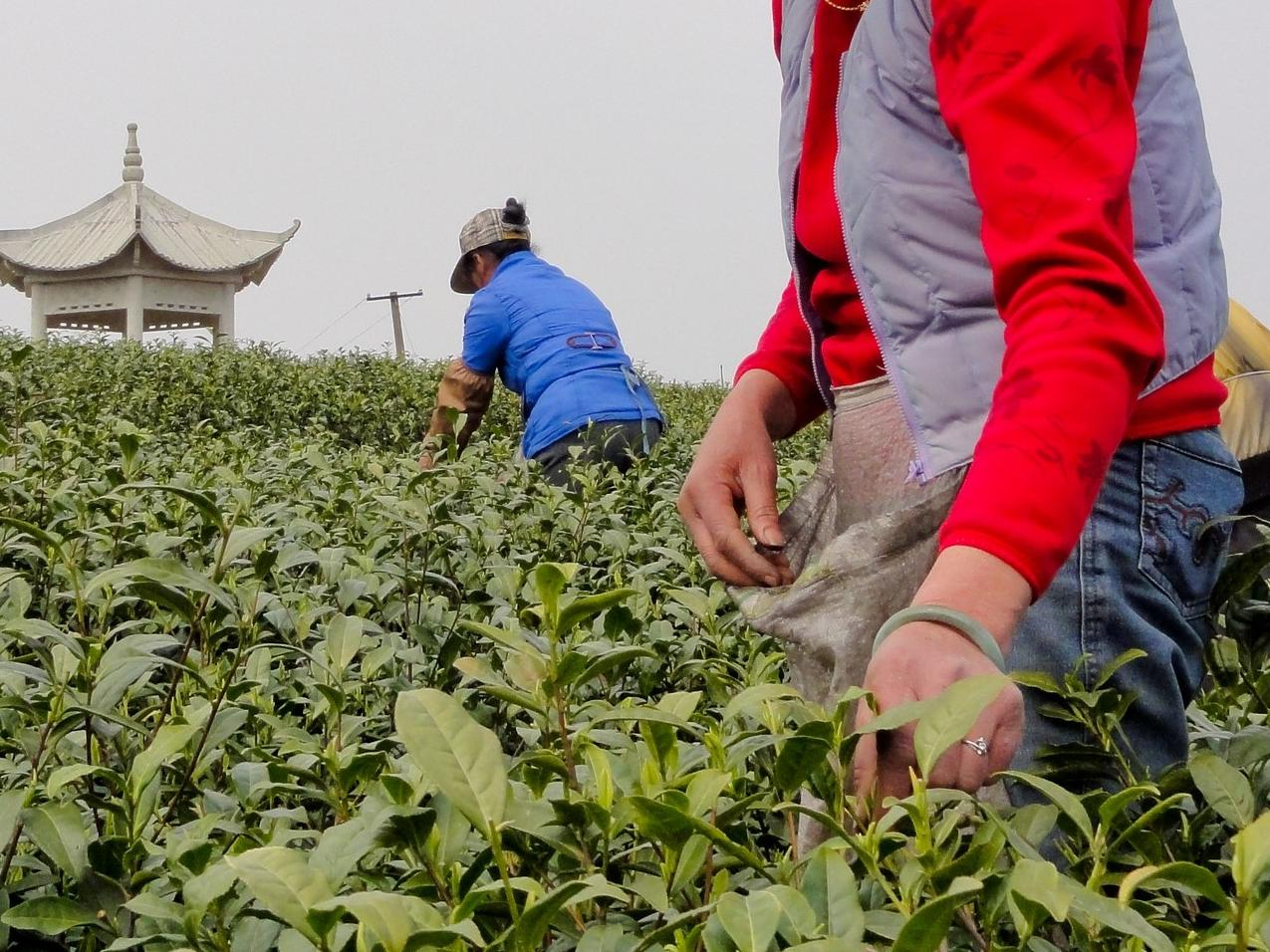 Tea harvesting in China © UTZ Certified