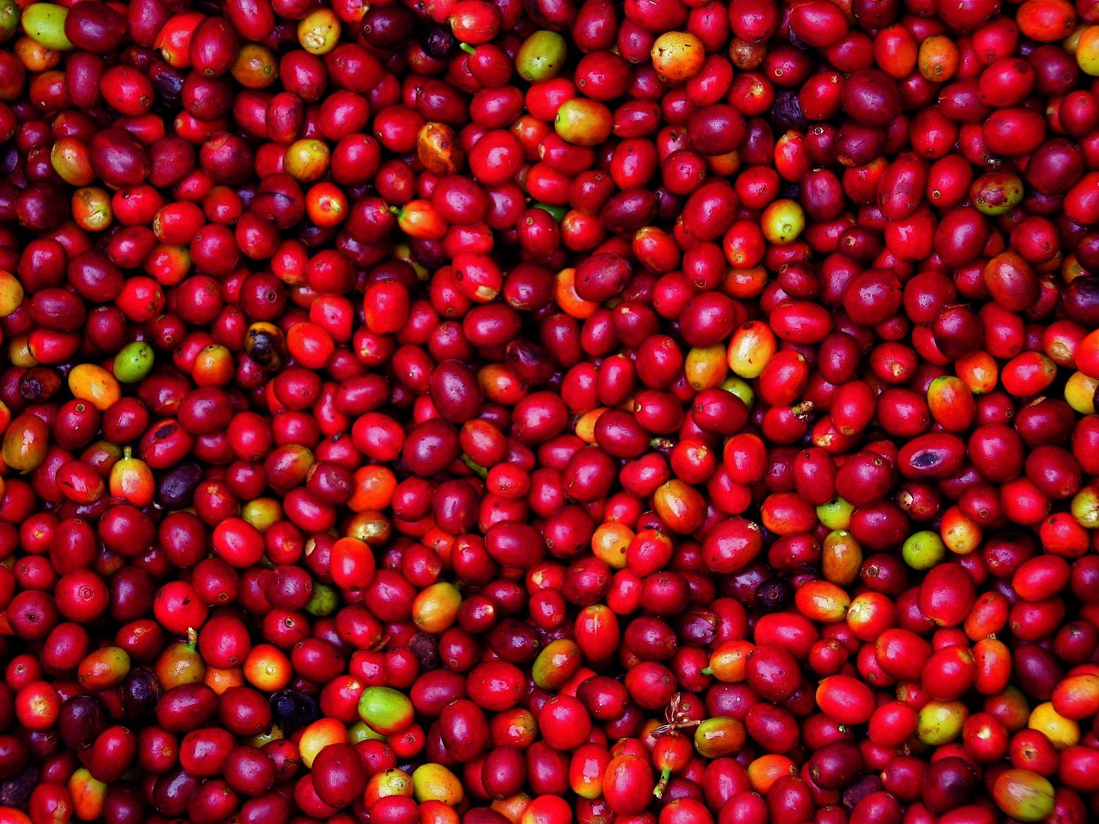 coffee cherries © David Dudenhoefer, Rainforest Alliance