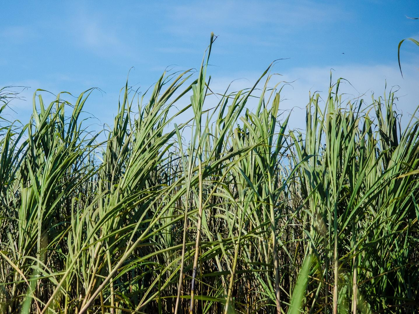 Sugar cane field © Bonsucro