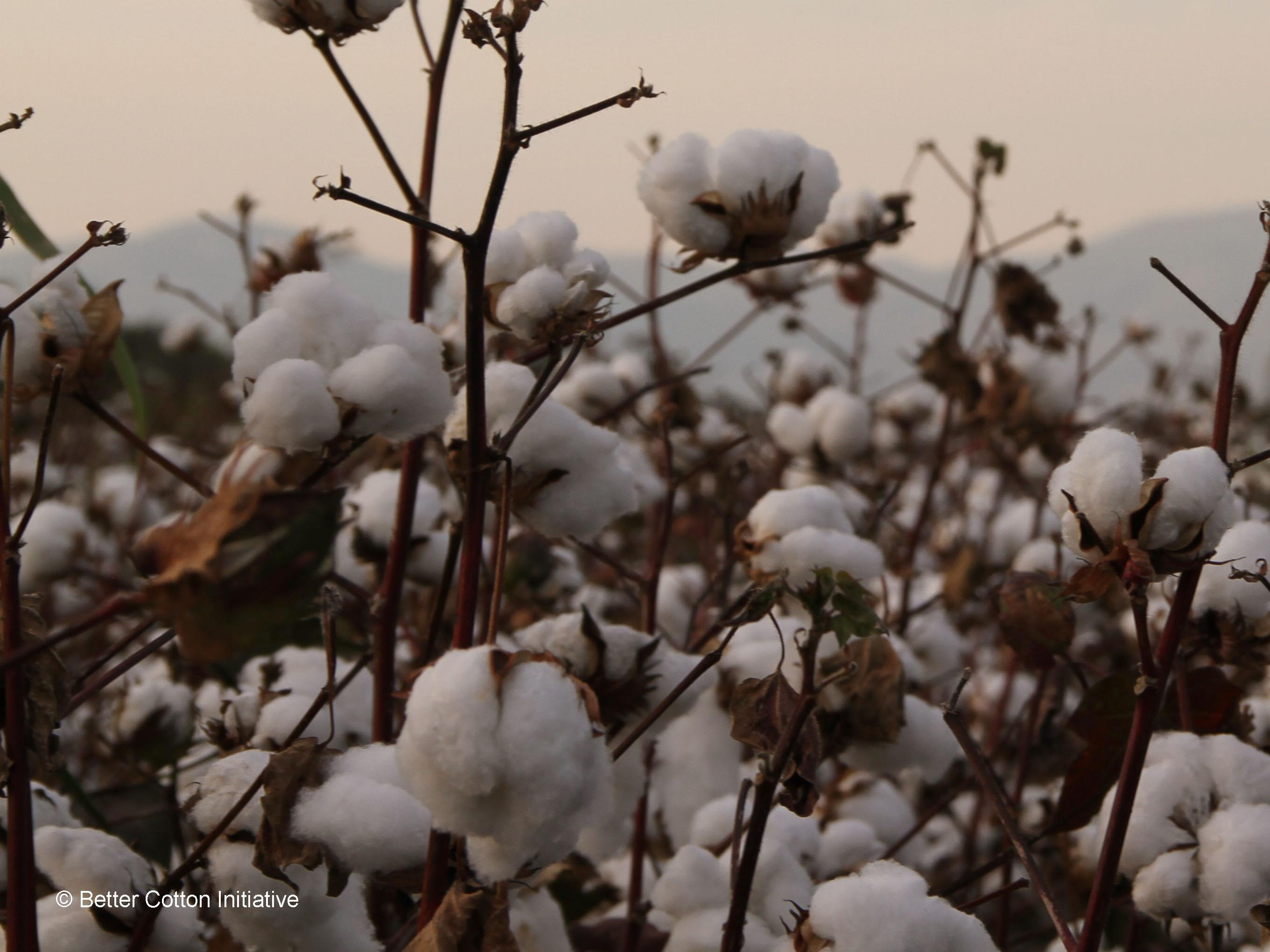 Cotton field at sunset © Better Cotton Initiative