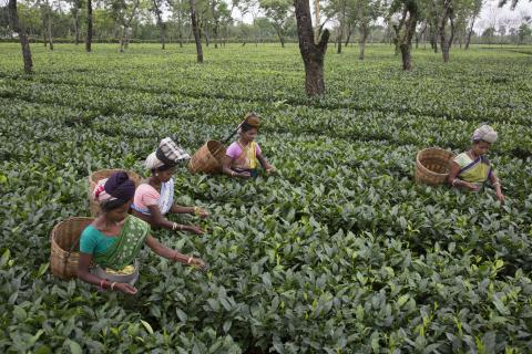 Fair Trade Certified Tea, Maud Tea Estate © Fair Trade USA