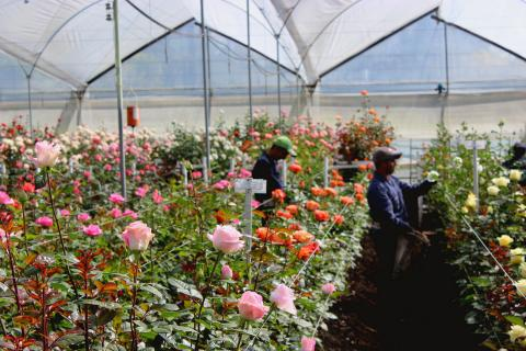 Roses in Colombia © Sustainable Agriculture Network