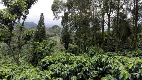 Guatemala coffee plantation © Rainforest Alliance