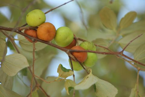 Fruit of Ziziphus mauritiana, Zimbabwe © David Brazier for UEBT.JPG