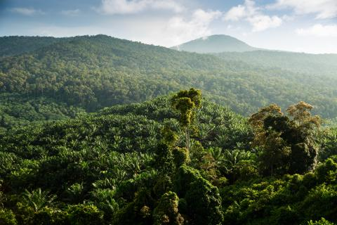 Oil palm plantation on mountainside © RSPO