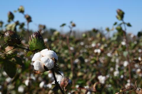Cotton field on a sunny day © Better Cotton Initiative.jpg