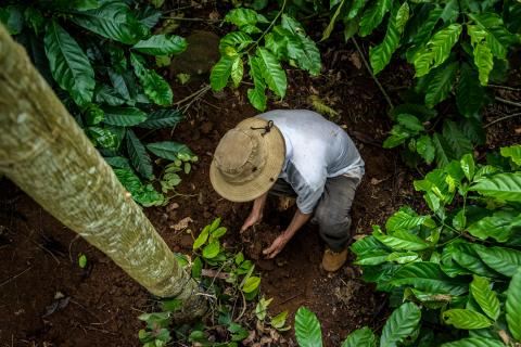 Farmer with hands in soil ® Carlos Rubio and Global Coffee Platform