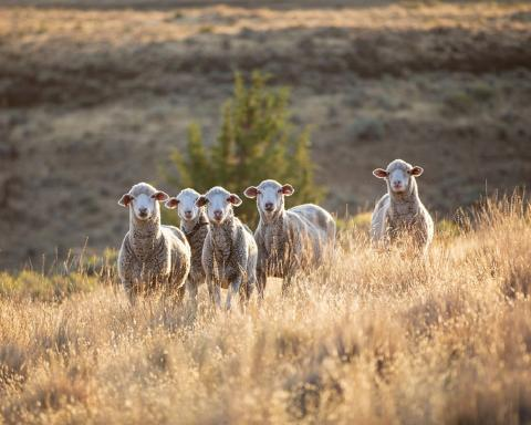 Sheep certified by the Responsible Wool Standard. Photo by Shaniko Wool © Textile Exchange
