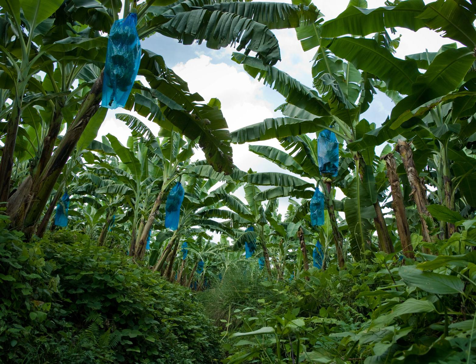 Bananas, Colombia © Marcel Koppen Fairtrade International